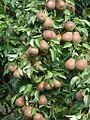 Pears (4223666447).jpg