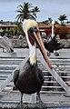 Pelican Portrait (15716553827).jpg