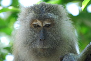 Penang National Park - Crab-eating macaque on Monkey Beach