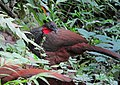 Penelope perspicax Pava caucana Cauca Guan (10726666385).jpg