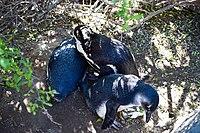 Penguins at Boulders Beach, Cape Town (23).jpg