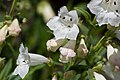 Penstemon digitalis -White Bedder- 2-2733.jpg