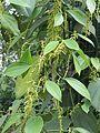 Pepper Thekken -Black Pepper Variety at Kolavayal, Wayanad (2).jpg