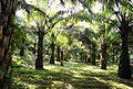 Perkebunan kelapa sawit milik rakyat (96).JPG