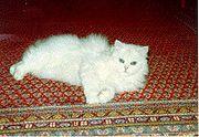 Persa branco