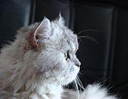 7a11f3fac77b Οι δύο τύποι του προσώπου της γάτας Περσίας και Ιμαλαΐων. Αριστερά φαίνεται  ο κοινός τύπος ...