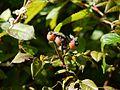 Persicaria chinensis var. ovalifolia (6368765375).jpg