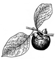 Persimmon 2 (PSF).png