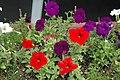 Petunia sp. 2 (49045263706).jpg