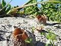 Peziza ammophila Betty's Bay 01.jpg