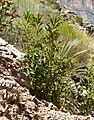 Phacelia anelsonii 3.jpg