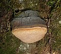 Phellinus igniarius Oak 2009 G1.jpg