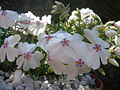 Phlox subulata 'Amazing grace' 4.JPG