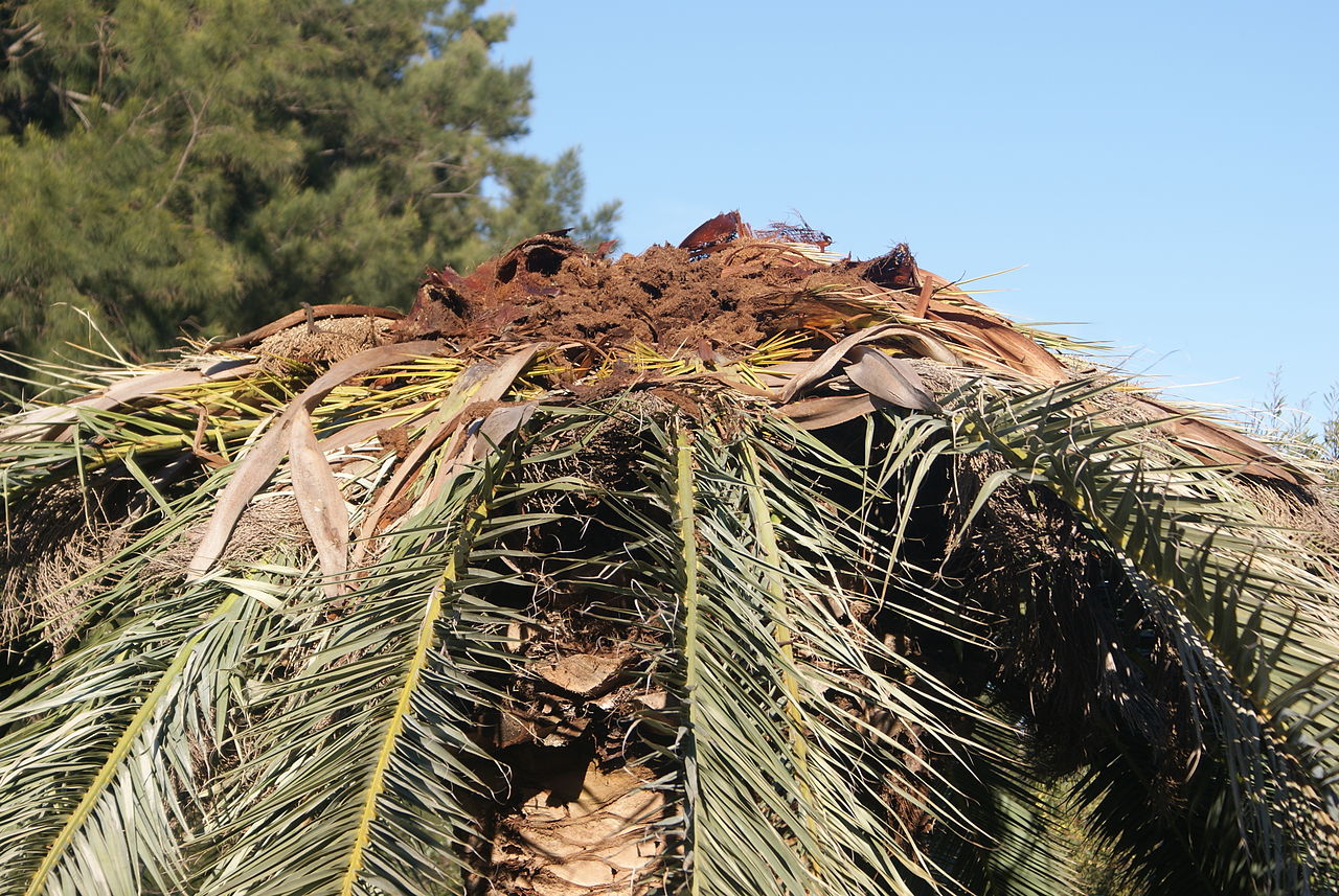 http://upload.wikimedia.org/wikipedia/commons/thumb/3/3c/Phoenix_canariensis_destroyed_by_Rhynchophorus_ferrugineus_1.JPG/1280px-Phoenix_canariensis_destroyed_by_Rhynchophorus_ferrugineus_1.JPG