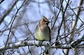 Photo of the Week - Cedar Waxwing (4169393842).jpg