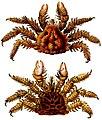 Phyllolithodes papillosus.jpg