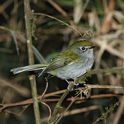 Phylloscartes difficilis - Serra do Mar Tyrannulet.JPG