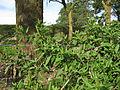 Phytolacca octandra plant9 (15295588992).jpg