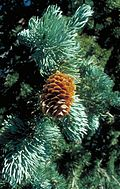 Picea engelmannii UGA2.jpg
