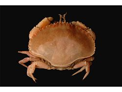 Pie Crust Crab.jpg