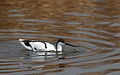 Pied Avocet, Recurvirostra avosetta at Marievale Nature Reserve, Gauteng, South Africa (20847522079).jpg