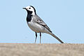 Pied Wagtail in Jersey, Channel Islands.JPG