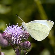 Pieris.rapae.6834.jpg