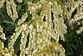 Pieris japonica Dorothy Wycoff 4zz.jpg
