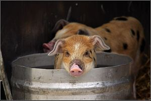 Pig - Domestic pig in a bucket