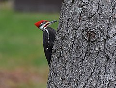 Pileated Woodpecker (26378150815).jpg