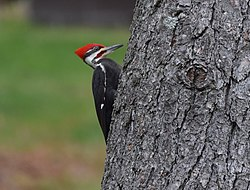 Pileated Woodpecker (26378150815).jpg