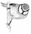 Pimpelmees Cyanistes caeruleus Jos Zwarts 2.tif