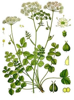 Little Bibernelle (Pimpinella saxifraga), illustration
