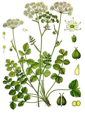 Pimpinella - Image: Pimpinella saxifraga Köhler–s Medizinal Pflanzen 241