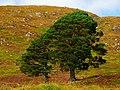 Pines - panoramio (9).jpg