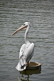Pink-backed pelican 3.jpg