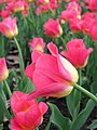 Pink Yellow (70695279).jpeg