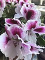 Pink and White Malva.jpg