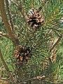 Pinus-sylvestris-cone-2.jpg