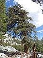 Pinus balfouriana austrina 4.jpg