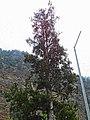 Pinus gerardiana India6.jpg