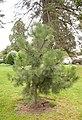 Pinus hartwegli, 2016-02-04.jpg