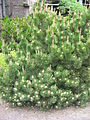 Pinus mugo mughus01.jpg