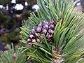 Pinus uncinata (15265252158).jpg