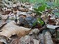 Piršenbreg Frog.jpg