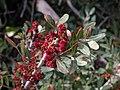 Pistacia lentiscus 2.jpg
