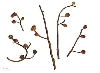 Pistacia terebinthus - Pistacia terebinthus - MHNT