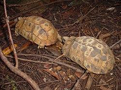 Pixys arachnoides NosyKomba 070107 2.JPG