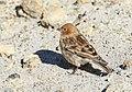 Plain Mountain Finch (Leucosticte nemoricola) (37406147824).jpg