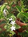 Plants at Bijalinagar 61.jpg